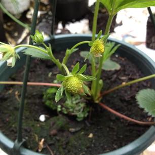 Aardbeien aan het aardbeienplantje