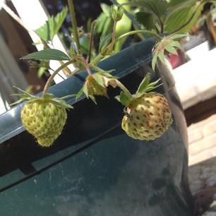 Groeiende aardbeien aan aardbeienplantje